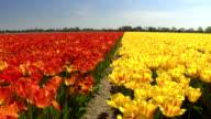 CLOSE UP: Endless field of lovely red and yellow tulips separated by walkway video