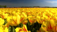 CLOSE UP: Endless field of stunning red and yellow tulips dancing in the wind video