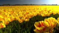 CLOSE UP: Endless field of stunning red and yellow tulips moving in the wind video