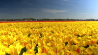 CLOSE UP: Endless field of stunning red and yellow tulips swaying in the wind video