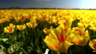 CLOSE UP: Endless field of stunning red and yellow tulips swinging in the wind video