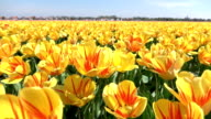CLOSE UP: Endless field of stunning red striped yellow tulips swinging in wind video