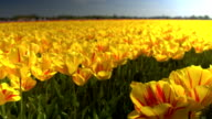 CLOSE UP: Endless field of stunning yellow tulips dancing in soft spring wind video