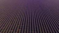 AERIAL: Endless fields of purple lavender rows video