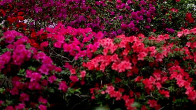 Endless Sea of Azaleas Flowers of Different Colors video