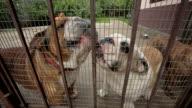 English Bulldogs in a Cage video