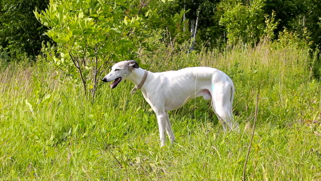 English greyhound on a green meadow video