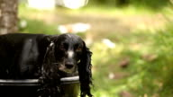 English Working Cocker Spaniel Drying in sun after wash video
