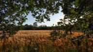 Enter to a barley field in sunset video