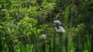 Epic 4K - Great White Heron, or Great Egret, nesting on the cypress swamp video