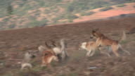 Epic Dogfight HD - wild feral dogs in battle video