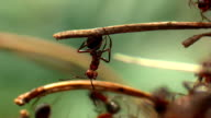 Equilibrist Ant video