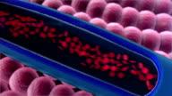 erythrocyte, artery video