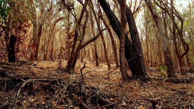 Eucalyptus forest video