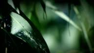 Eucalyptus Leaves Australia HD video