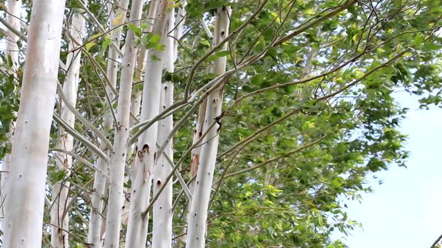 eucalyptus tree branch in wind. video