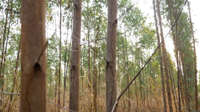 Eucalyptus tree forest in Thailand video