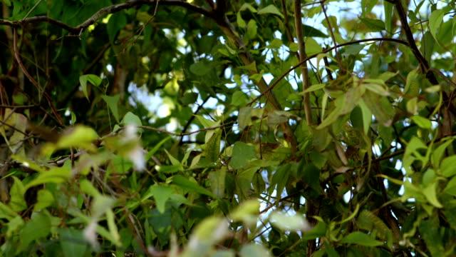 Eucalyptus tree leaves fluttering in the wind video
