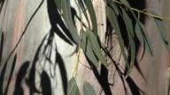 Eucalyptus Tree video
