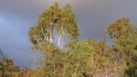 Eucalyptus Tree Windy Scene (HD) video