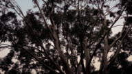 Eucalyptus Trees In Stormy Weather video