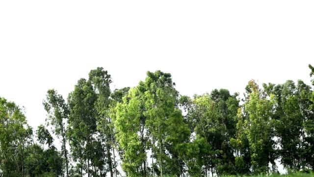 Eucalyptus Trees video