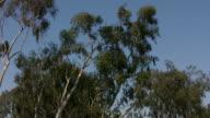 Eucalyptus Trees (HD) video