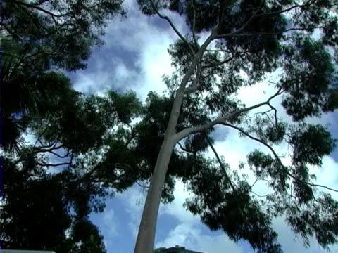 Eucalyptus video