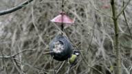Eurasian blue tit (Cyanistes caeruleus) and great tit (Parus major) on bird feeder in winter. coconut video
