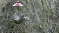 Eurasian blue tit (Cyanistes caeruleus) and great tit (Parus major) on bird feeder in winter. coconut video