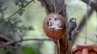 Eurasian blue tit (Cyanistes caeruleus) on bird feeder in winter. coconut video