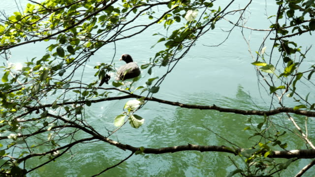 Eurasian Coot Swimming in a River Between Tree Branches video