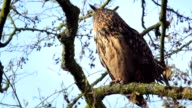 Eurasian eagle-owl (Bubo bubo) sitting in a tree video