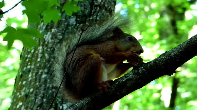 Eurasian red squirrel (Sciurus vulgaris) sitting on branch and eating nut video