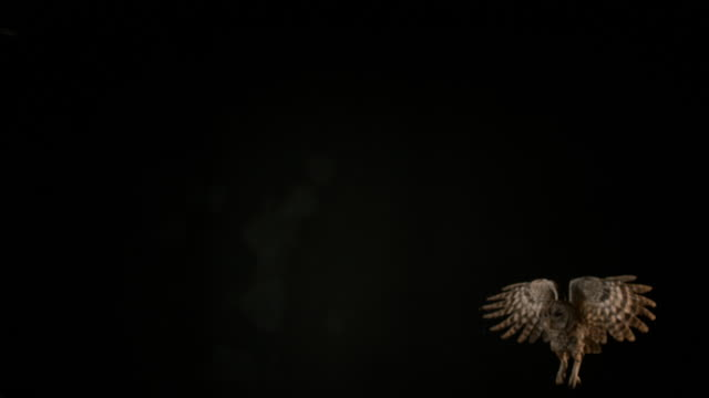 Eurasian Tawny Owl, strix aluco, Adult in Flight, Normandy, Slow motion 4K video