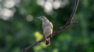 Eurasian wryneck bird video