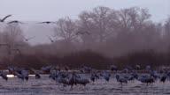 Eurasischer Kranich - Grus grus - Eurasian crane - Common crane video