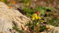 European Adder / Viper waiting for prey and ready for hunting, Vipera berus video