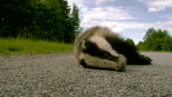A European badger in the middle of the road video