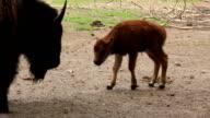 European bison. Baby Bison bonasus video