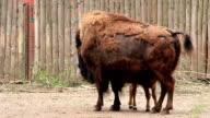 European bison. Bison bonasus video