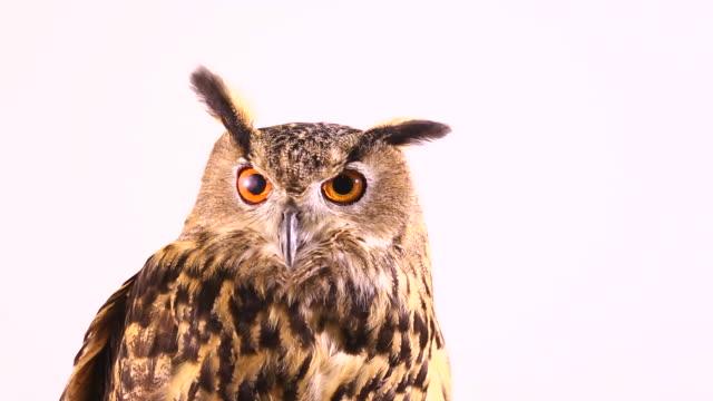 european eagle owl video