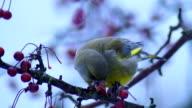 European greenfinch video