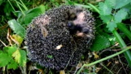 European hedgehog unrolls from a ball video
