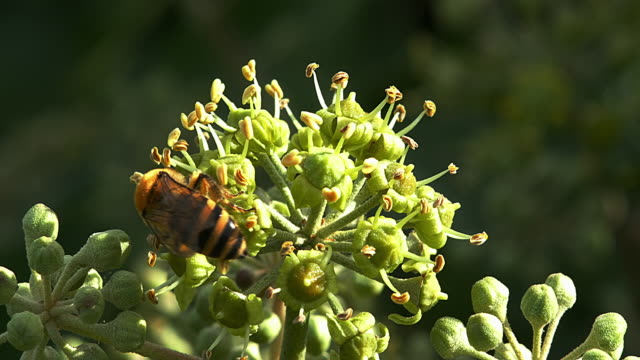 European Honey Bee, apis mellifera, Adult gathering pollen on Ivy's Flower, hedera helix, Normandy, real Time 4K video