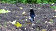European Magpie (Pica pica) in autumn  garden video