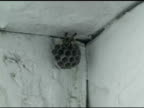 European Paper Wasp video