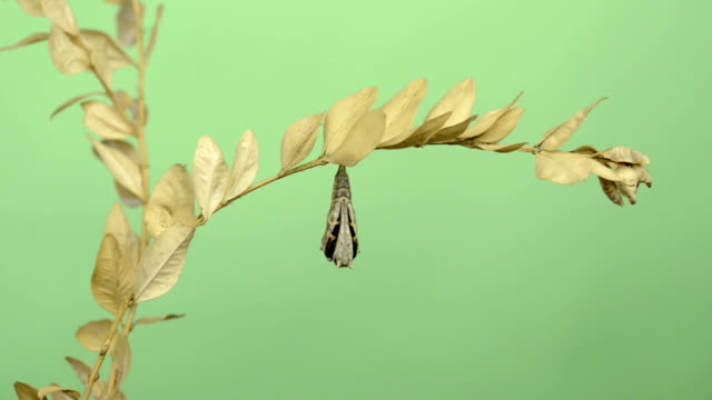 European Peacock butterfly hatching from its chrysalis, green key video