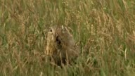 Europäischer Ziesel - European ground squirrel - Spermophilus citellus video