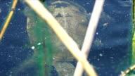 European pond turtle video